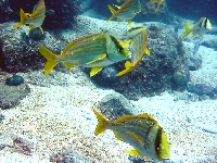 Chrochtal prasečí, Anisotremus virginicus, Porkfish - http://upload.wikimedia.org/wikipedia/commons/1/1f/Anisotremus_virginicus_photo.jpg