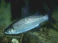 Cípal, Chelon labrosus, Thicklip grey mullet  - http://www.jjphoto.dk/fish_archive/saltwater/chelon_labrosus_x01.jpg