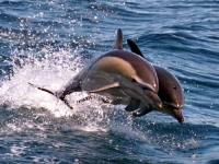 Delfín obecný, Delphinus delphis, Long-beaked Common Dolphin - http://www.promare.at/images/news/2jump.jpg