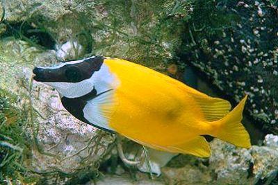Kr l kovec li siganus vulpinus common foxface mo sk for Saltwater fish representative species