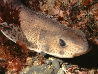 Máčka skvrnitá, Scyliorhinus canicula, Small-spotted catshark - http://www.bluewatersphotos.co.uk/images/Dogfish001-01JPG.jpg