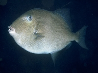 Osténec korolínský, Balistes capriscus, Grey triggerfish     - http://fishbase.org/images/species/Bacar_u3.jpghttp://fishbase.org/images/species/Bacar_u3.jpg