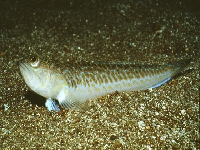 Ostnatec velký, Trachinus draco, Greater weever - http://www.fishbase.org/images/species/Trdra_u1.jpg