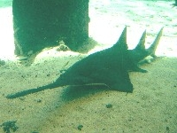 Piloun mnohozubý, Pristis pectinata, Smalltooth sawfish - http://www.pescablanca.com/photo/1149267298sawfish%20catanuda.jpg