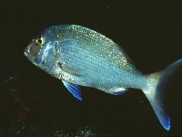 Pražman obecný, Sparus pagrus, Common seabream - http://www.fishbase.org/images/species/Papag_u1.jpg