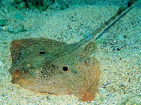 Rejnok čtyřoký, Raja miraletus, Brown ray - http://fishbase.com/images/species/Ramir_u1.jpg