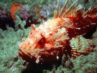 Ropušnice obecná, Scorpaena scrofa, Largescaled scorpionfish     - http://www.angermayr.net/photos/manos01/pic/m005.jpg