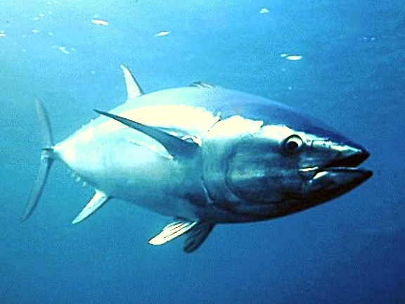 Tuňák obecný cena