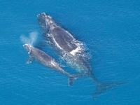Velryba černá, Eubalaena glacialis, Northern right whale - http://upload.wikimedia.org/wikipedia/commons/thumb/6/6a/Eubalaena_glacialis_with_calf.jpg/200px-Eubalaena_glacialis_with_calf.jpg