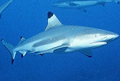 Žralok černoploutvý, Carcharhinus melanopterus, Blacktip reef shark - http://www.chez.com/fins/image/requinpointesnoires.jpg
