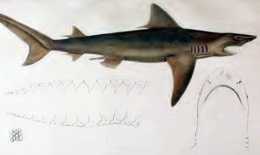 Žralok ganžský, Glyphis Gangeticus, Ganges shark - http://upload.wikimedia.org/wikipedia/commons/6/60/Carcharias_gangeticus_by_muller_and_henle.png