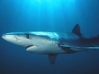 Žralok modrý, Prionace glauca, Blue shark - http://www.goldenstateimages.com/big/image_files/2032d.jpg