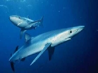 Žralok modrý, Prionace glauca, Blue shark - http://www.fan-zone.net/groups/1-10000/802/photos/9102.jpg