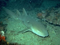 Žralok vouskatý, Ginglymostoma cirratum, Nurse shark - http://graysreef.noaa.gov/pictures/nurseshark2.jpeg